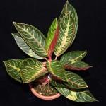 Aglaonema, Kininis visžalis augalas