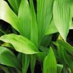 Aspiditra, Ketaus augalas