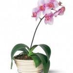 Orchidėja